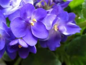violets-susan